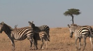 Stock Video Footage of Zebra group