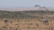 Zebras walking away Stock Footage