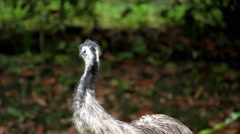 Cute Emu Close-Up (Dromaius Novaehollandiae), Large Australian Flightless Bird Stock Footage