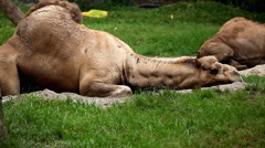 Arabian Camel (Camelus Dromedarius), Dromedary, Large Even-Toed Relaxing Stock Footage
