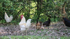 Stock Video Footage of Flock of Chickens