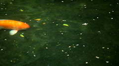 Brocaded Carp, Koi Fish Feeding in a Pond, Nishikigoi, Ornamental Varieties Stock Footage
