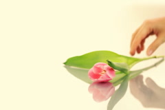 Female hand taking and putting tulip flower on reflective table Stock Footage