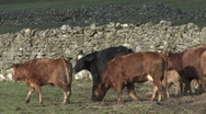 Stock Video Footage of Cattle by dry stone wall near Reeth, Swaledale.