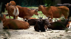 A Small Group Of Bovinae, Buffalo in Wildlife, Resting, Relaxing, Savanna Stock Footage