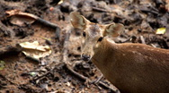 Deer (Cervidae), Bambi, Ruminant Mammals, Eating, Relaxing in the Forest, Wild Stock Footage