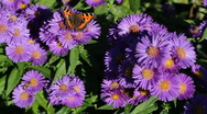 Aster with butterfly and bees Stock Footage