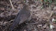 Stock Video Footage of blackbird