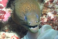 Moray Eel living in the coral triangle Stock Footage