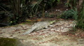 Big and Scary Crocodile (Crocodylidae, Crocodylinae), Almost not moving Footage