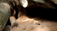 The Banded Mongoose (Mungos Mungo) Playing, Foraging, Hiding, Sleeping, Smelling Stock Footage