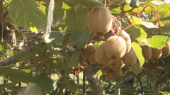 Kiwifruit being picked from the vines Stock Footage