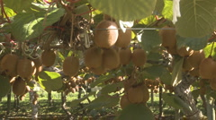 Close up of kiwifruit being picked from vines Stock Footage