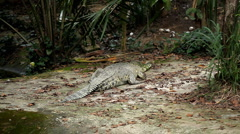 Big and Scary Crocodile (Crocodylidae, Crocodylinae), Almost not moving Stock Footage