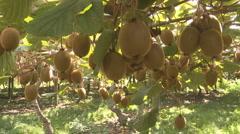 Kiwifruit ready to harvest on the vine Stock Footage