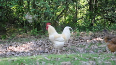 White Rooster - stock footage