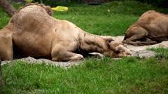 Arabian Camel (Camelus Dromedarius), Dromedary, Large Even-Toed Relaxing Stock Footage