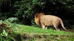 Lion (Panthera leo), Big Cat rentouttava, Felidae, Wildcat, Predator, kuningas Arkistovideo