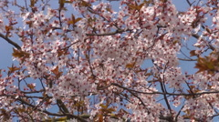 Peach blossom against a blue sky Stock Footage