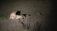 Stock Video Footage of Lions at night sleepy