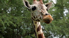 Beautiful Giraffe Close-Up, Giraffa Camelopardalis, The Tallest Animal, African Stock Footage