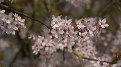 Pink peach blossom waving in the breeze Stock Footage