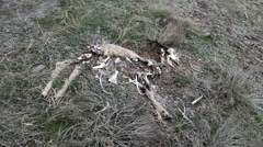 Stock Video Footage of Tragic snow falling on skeleton of a  deer as it decays and rots-HDP 0058