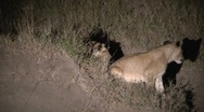 Stock Video Footage of Lions at night playing