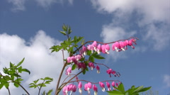 Close-up of bleeding heart  Stock Footage