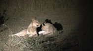 Stock Video Footage of Lions at night