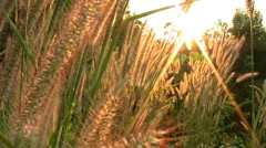 Sun Peaks Through The Tall Grass Stock Footage