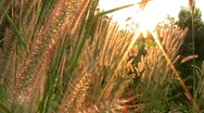 Stock Video Footage of Sun Peaks Through The Tall Grass