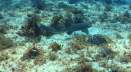 Nurse shark swimming over weed sand ocean floor Stock Footage