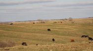 Cows Grazing on a Farm #1 Stock Footage