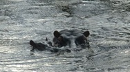 Stock Video Footage of Hippo mother and child