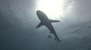 Shark silhouetted by sun Stock Footage