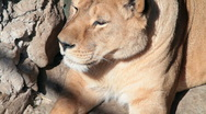Stock Video Footage of lioness resting