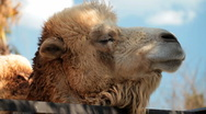 Stock Video Footage of Camel