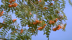 Red ashberry Stock Footage