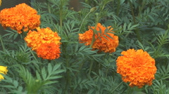 Orange marigold. Stock Footage