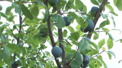 Plum-tree. Stock Footage