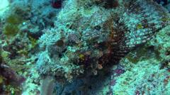 Scorpion fish camouflage Stock Footage