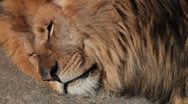 Stock Video Footage of Sleeping lion