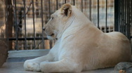 Stock Video Footage of White Lions