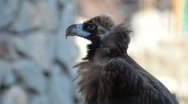 Stock Video Footage of Black Vulture