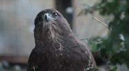 Stock Video Footage of buzzard hawk