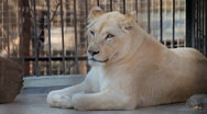 Stock Video Footage of White Lion