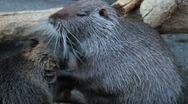 Stock Video Footage of Nutria