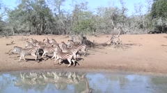 Zebras running away at waterhole Stock Footage
