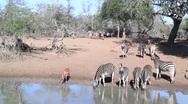 Zebras Drinking at Waterhole Stock Footage